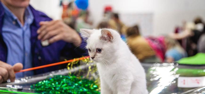 Кошка выставка
