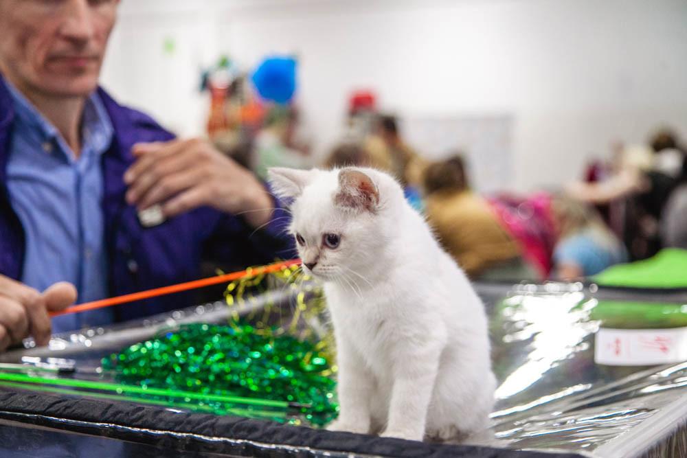Как подготовить любимую кошку к выставке