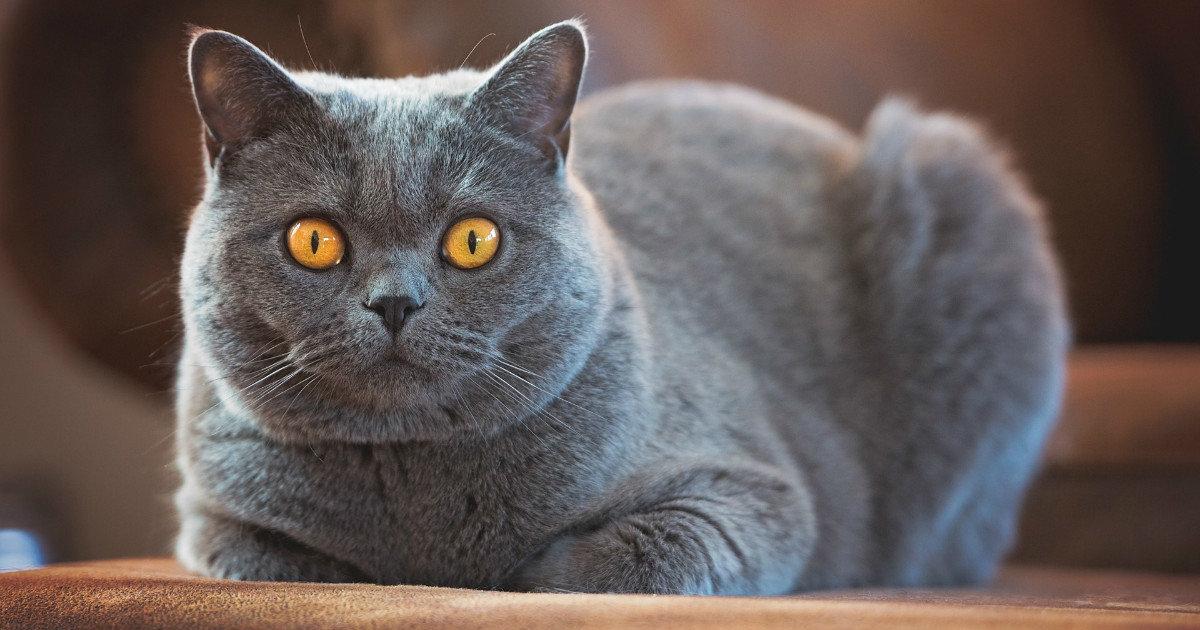 Как выбрать лучший корм и составить рацион для британских котят