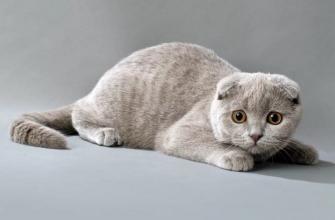 вислоухая шотландская кошка описание и характер
