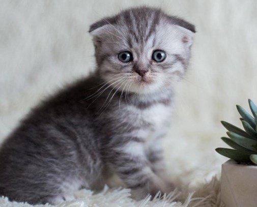вислоухая кошка содержание