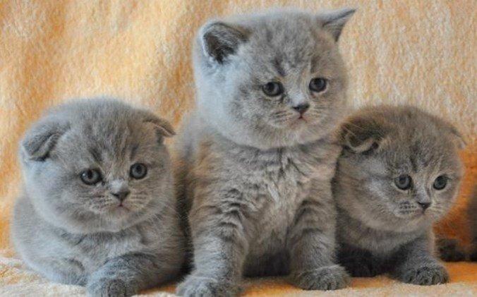 воспитание шотландских кошек