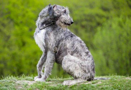 Ирландский волкодав: характер породы и описание.