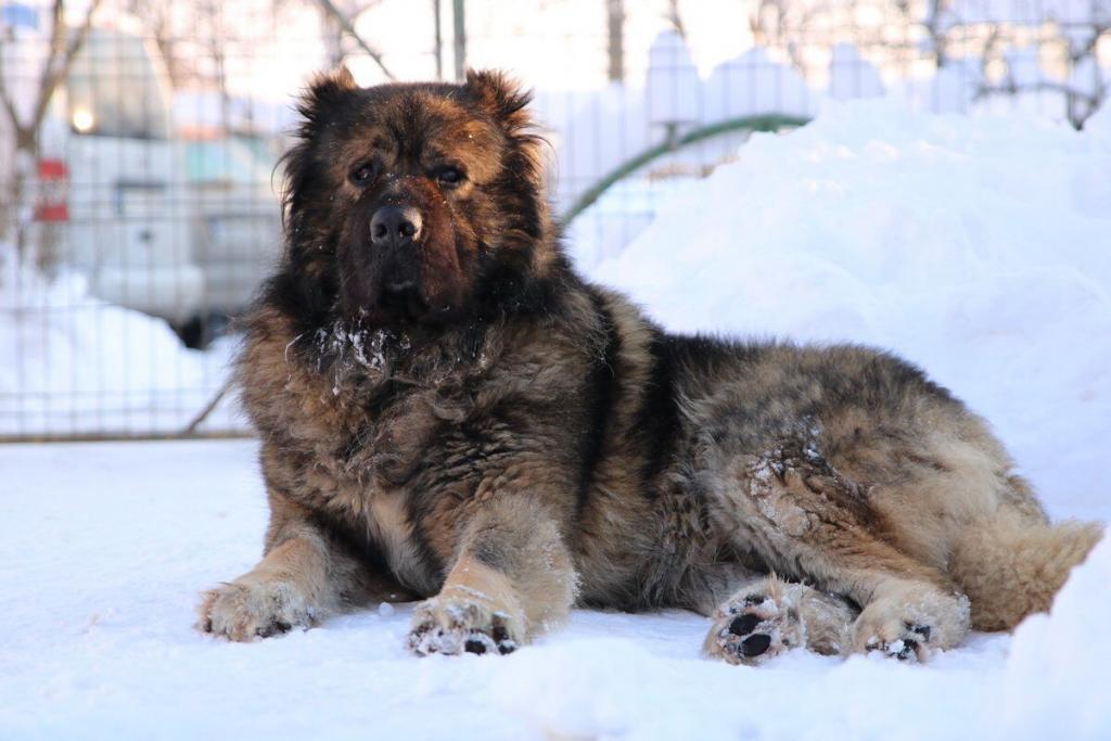 Кавказская овчарка - описание породы, характер, дрессировка и стоимость щенков.