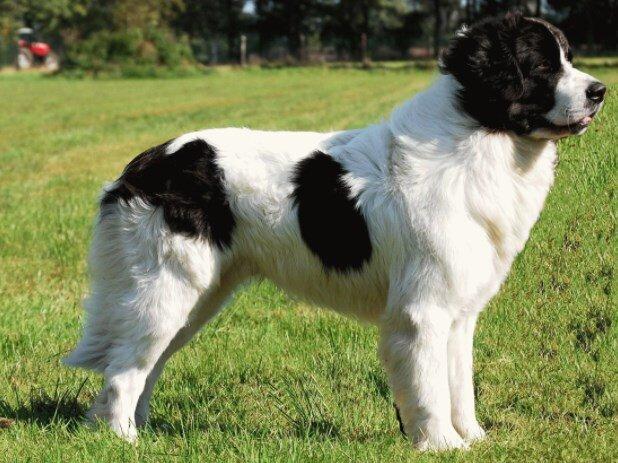 Порода собак - Ландсир: полное описание.