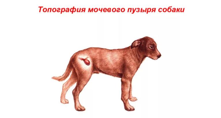 Топография мочевого пузыря у собак