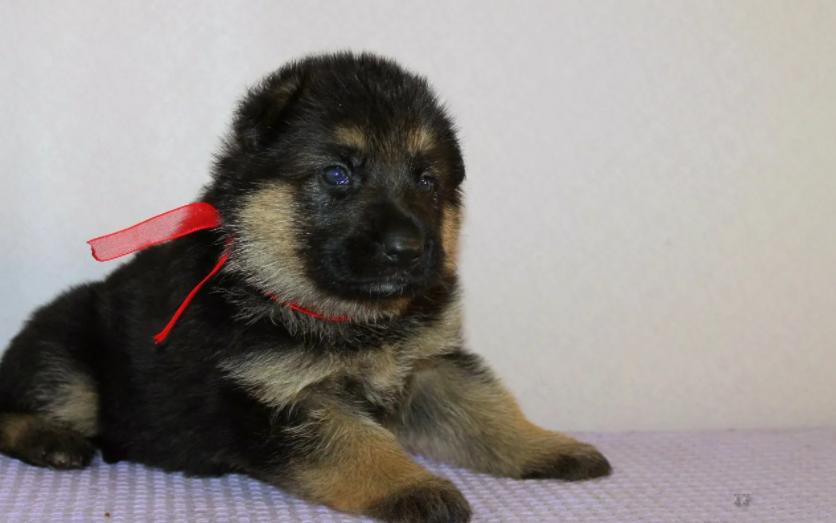 Месячный щенок немецкой овчарки: рост, вес и правильное кормление