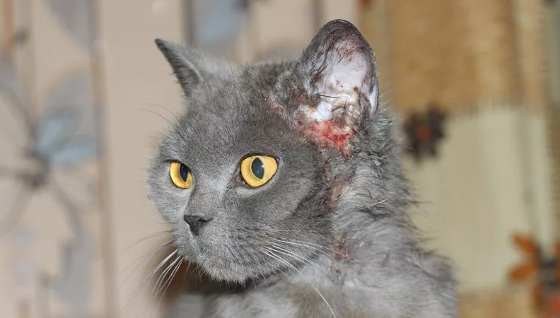 Солнечный дерматит у кота