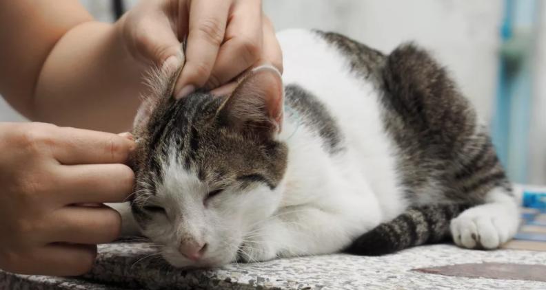 Неприятный запах из ушей у котенка