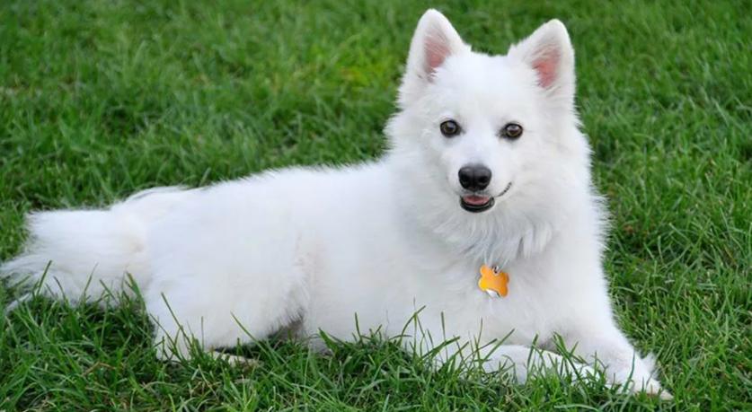 Фото и описание белых пушистых собак