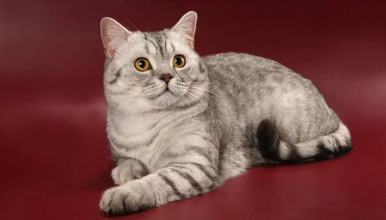 заболевания шотландской прямоухой кошки