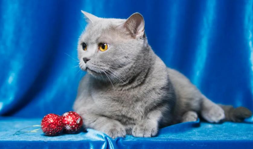 Дрессировка и воспитание шотладской прямоухой кошки