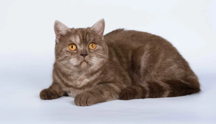 Как часто линяют шотландские прямоухие кошки