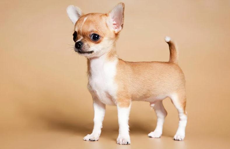 Чихуахуа - сколько живут и как ухаживать чтобы продлить жизнь собаке