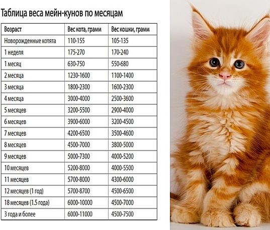 Размеры мейн кунов по месяцам - таблица
