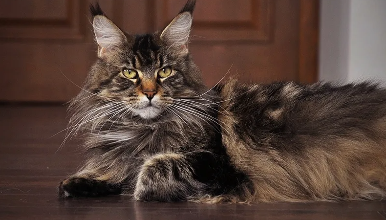 Что сделать, прежде чем купить котенка мейн-кун