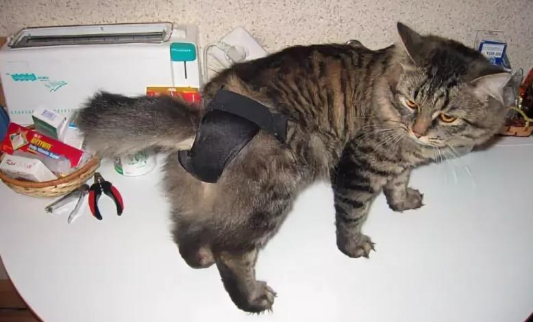Половое желание у стерилизованной кошки
