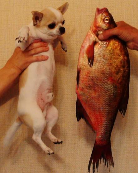 Какую рыбу можно давать чихуа